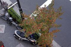 麹町の紅葉